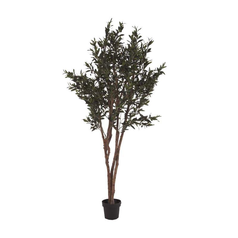 Planta Olivo